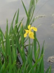 First Yellow Iris Lakeside April 11, 2011.jpg
