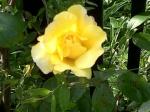 Yellow Rose April 18, 2011.jpg