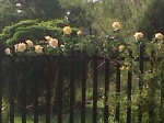 Yellow & Pink Roses on Fence 4-18-11.jpg