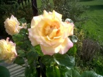 Pink & Yellow Roses (closer) 4-2011.jpg