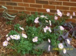 Ryan's Pink Chrysanthemums
