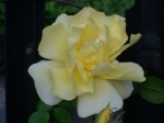 Perfect Yellow Rose.jpg